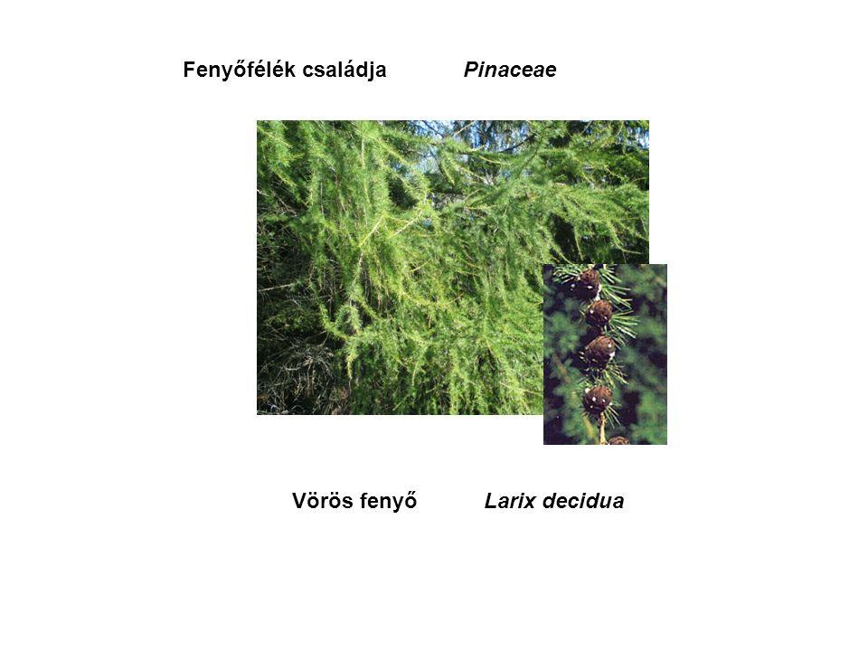 Vörös fenyőLarix decidua PinaceaeFenyőfélék családja