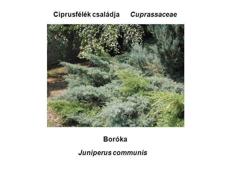 Ciprusfélék családja Boróka Cuprassaceae Juniperus communis