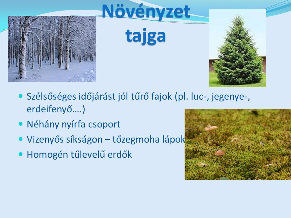 Növényzet tajga Szélsőséges időjárást jól tűrő fajok (pl.