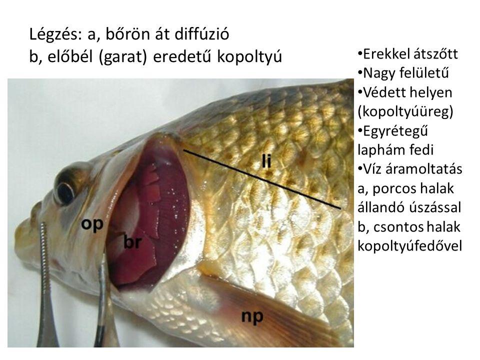 Légzés: a, bőrön át diffúzió b, előbél (garat) eredetű kopoltyú Erekkel átszőtt Nagy felületű Védett helyen (kopoltyúüreg) Egyrétegű laphám fedi Víz áramoltatás a, porcos halak állandó úszással b, csontos halak kopoltyúfedővel