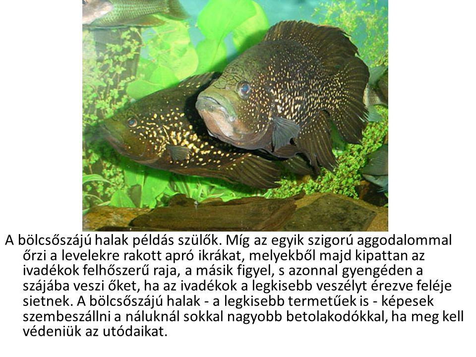 A bölcsőszájú halak példás szülők.