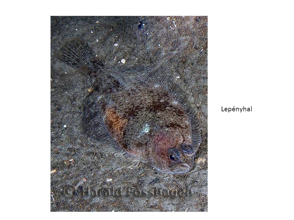Lepényhal