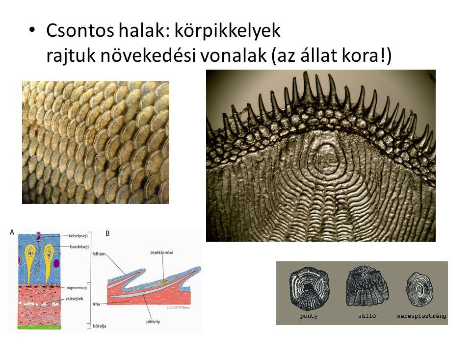 Csontos halak: körpikkelyek rajtuk növekedési vonalak (az állat kora!)
