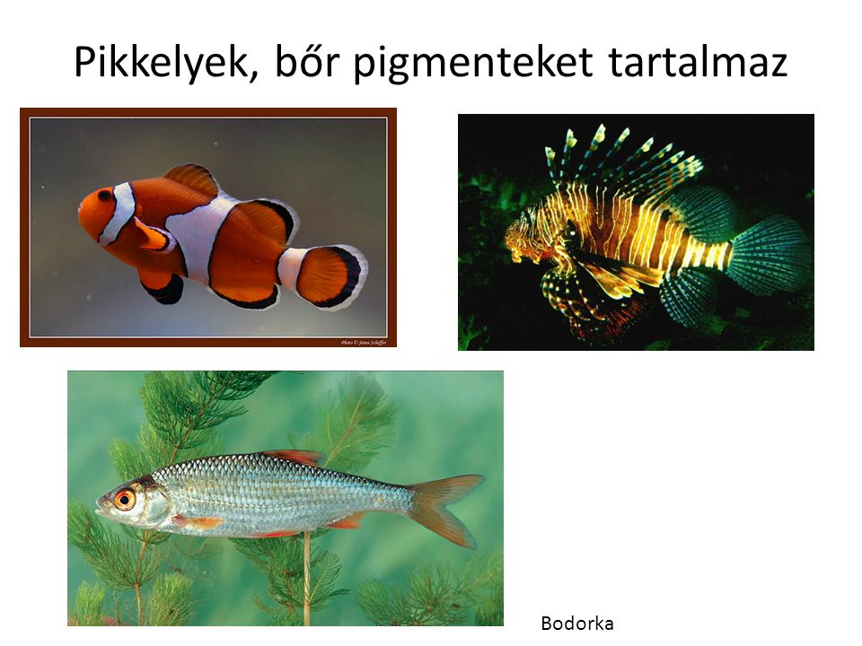 Pikkelyek, bőr pigmenteket tartalmaz Bodorka