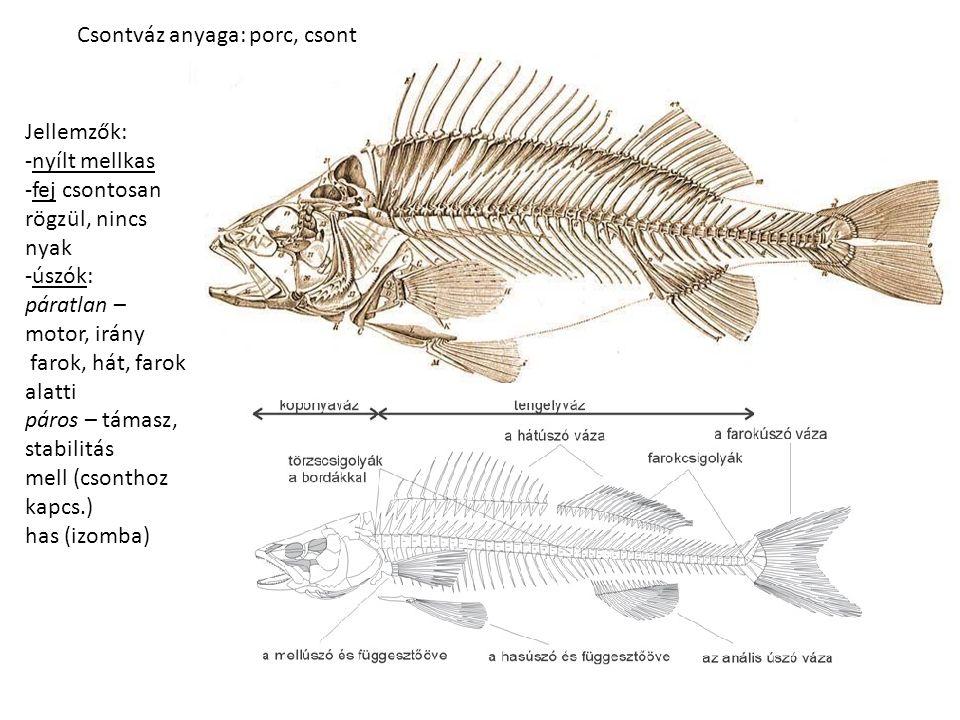 Csontváz anyaga: porc, csont Jellemzők: -nyílt mellkas -fej csontosan rögzül, nincs nyak -úszók: páratlan – motor, irány farok, hát, farok alatti páros – támasz, stabilitás mell (csonthoz kapcs.) has (izomba)