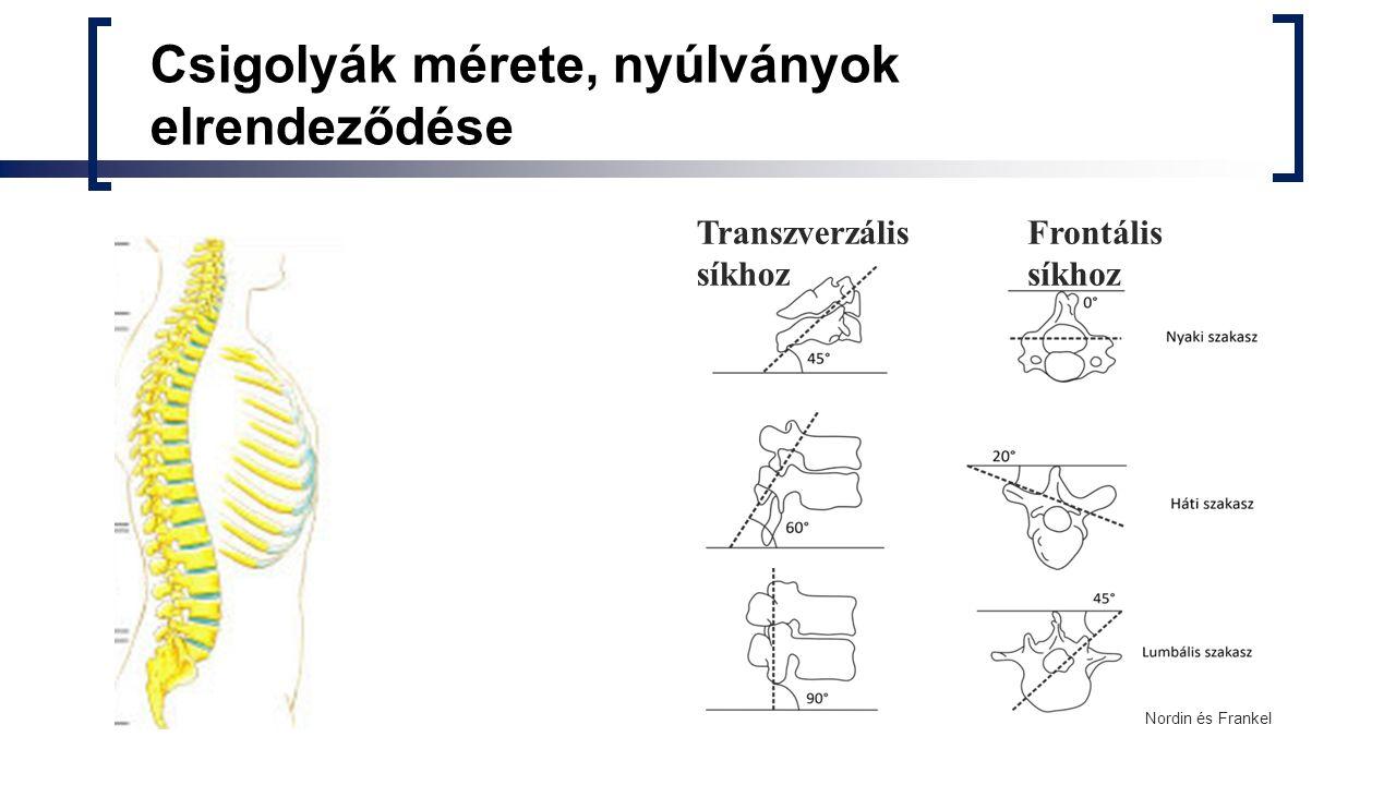 Porckorong Annulus fibrosus Szállal erősített rétegek Víz 25-30%, kollagén 70% Nucleus pulposus Összenyomhatalan folyadék Víz: 65-88%, kollagén 6- 25% 3-9 mm vastag, a gerincoszlop magasságának 20-33%-a Reggel kb.