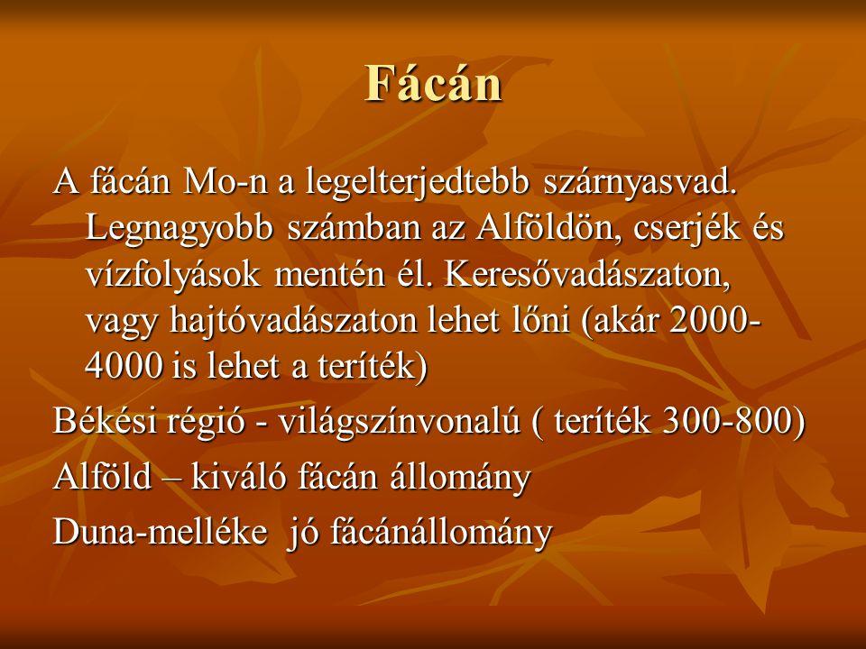 Fácán A fácán Mo-n a legelterjedtebb szárnyasvad. Legnagyobb számban az Alföldön, cserjék és vízfolyások mentén él. Keresővadászaton, vagy hajtóvadász