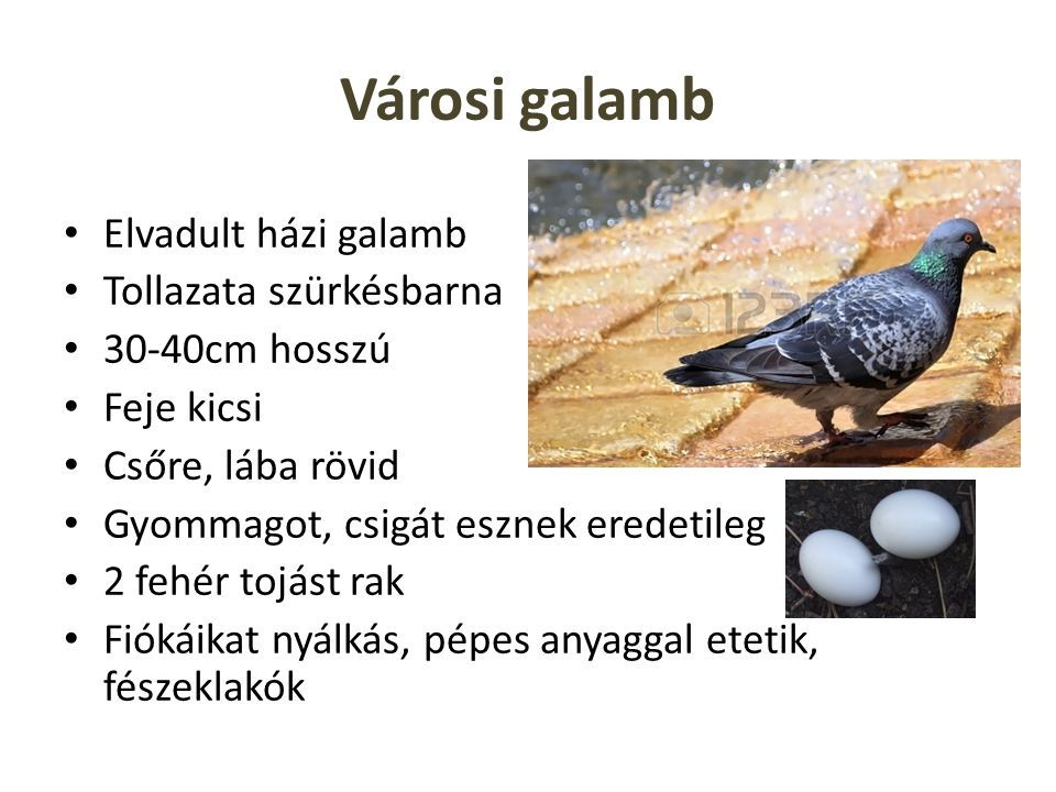 Városi galamb Elvadult házi galamb Tollazata szürkésbarna 30-40cm hosszú Feje kicsi Csőre, lába rövid Gyommagot, csigát esznek eredetileg 2 fehér tojá