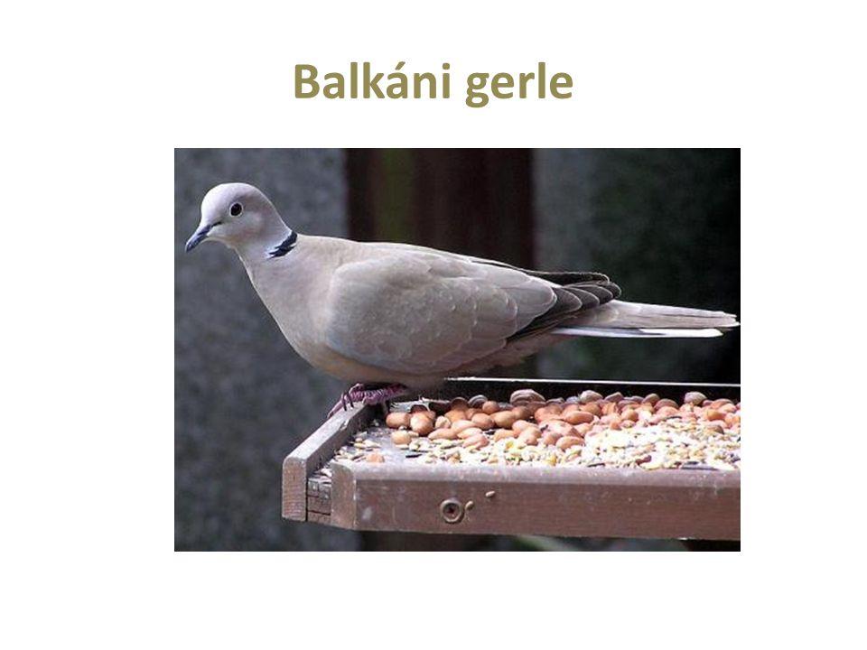 Balkáni gerle