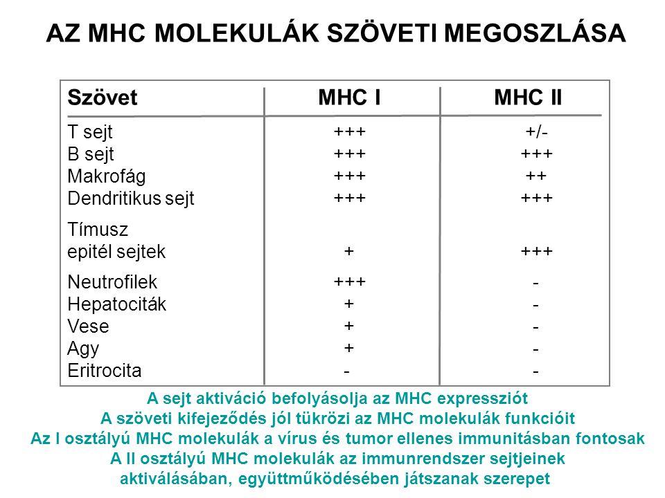 AZ MHC MOLEKULÁK SZÖVETI MEGOSZLÁSA Szövet MHC I MHC II T sejt+++ +/- B sejt+++ +++ Makrofág+++ ++ Dendritikus sejt+++ +++ Tímusz epitél sejtek + +++
