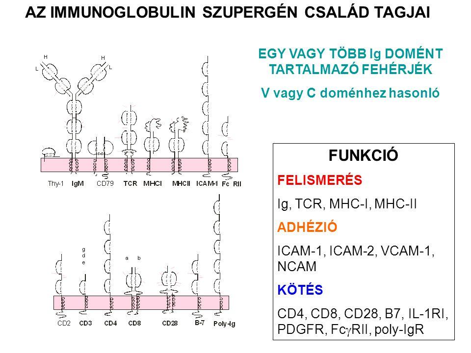 AZ IMMUNOGLOBULIN SZUPERGÉN CSALÁD TAGJAI FUNKCIÓ FELISMERÉS Ig, TCR, MHC-I, MHC-II ADHÉZIÓ ICAM-1, ICAM-2, VCAM-1, NCAM KÖTÉS CD4, CD8, CD28, B7, IL-