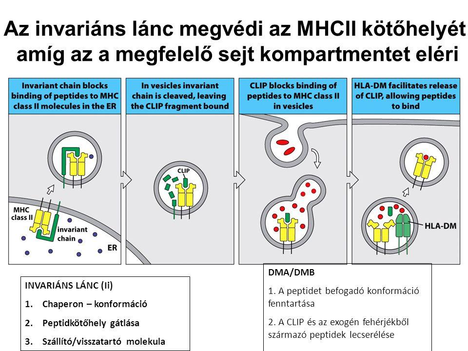Az invariáns lánc megvédi az MHCII kötőhelyét amíg az a megfelelő sejt kompartmentet eléri INVARIÁNS LÁNC (Ii) 1.Chaperon – konformáció 2.Peptidkötőhe