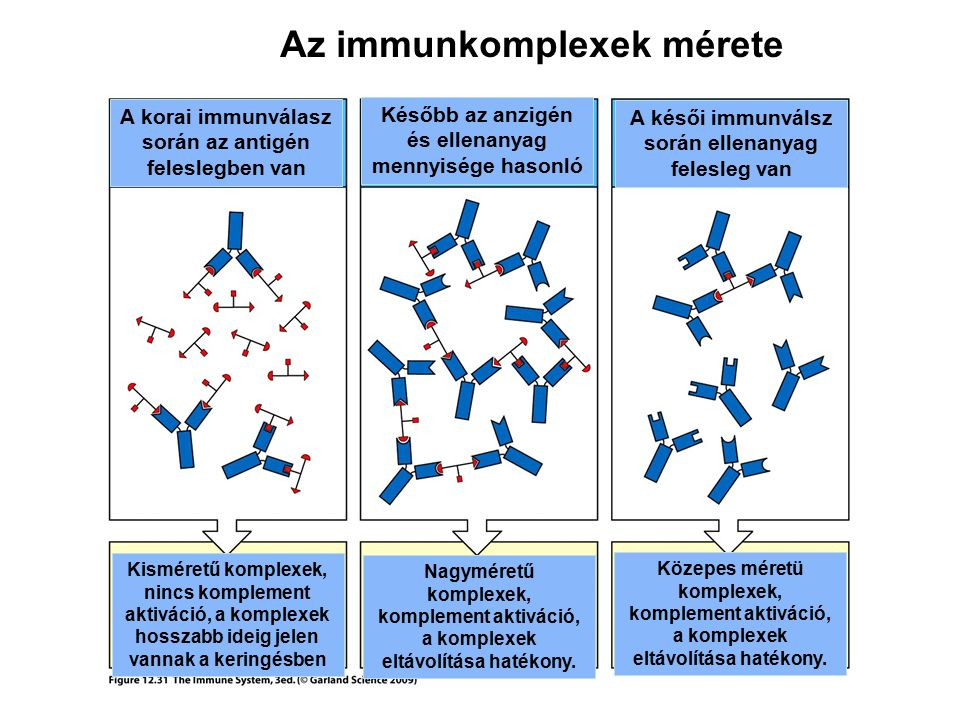 Az immunkomplexek mérete A késői immunválsz során ellenanyag felesleg van A korai immunválasz során az antigén feleslegben van Később az anzigén és el