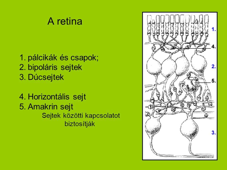 A retina 1.pálcikák és csapok; 2.bipoláris sejtek 3.Dúcsejtek 4.Horizontális sejt 5.Amakrin sejt Sejtek közötti kapcsolatot biztosítják