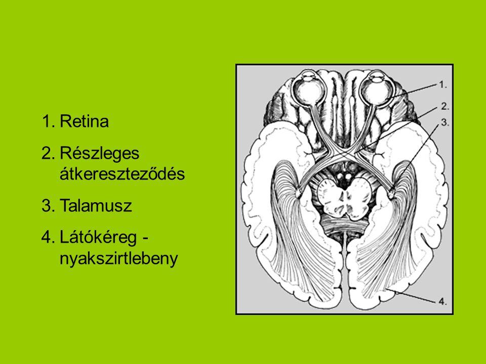 1.Retina 2.Részleges átkereszteződés 3.Talamusz 4.Látókéreg - nyakszirtlebeny