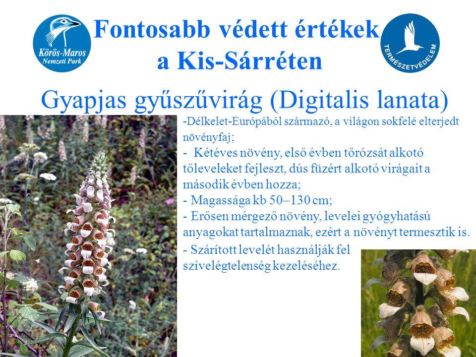 Fontosabb védett értékek a Kis-Sárréten Gyapjas gyűszűvirág (Digitalis lanata) -Délkelet-Európából származó, a világon sokfelé elterjedt növényfaj ; -