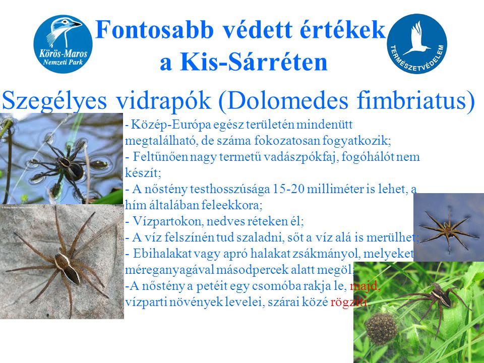 Fontosabb védett értékek a Kis-Sárréten Szegélyes vidrapók (Dolomedes fimbriatus) - Közép-Európa egész területén mindenütt megtalálható, de száma foko