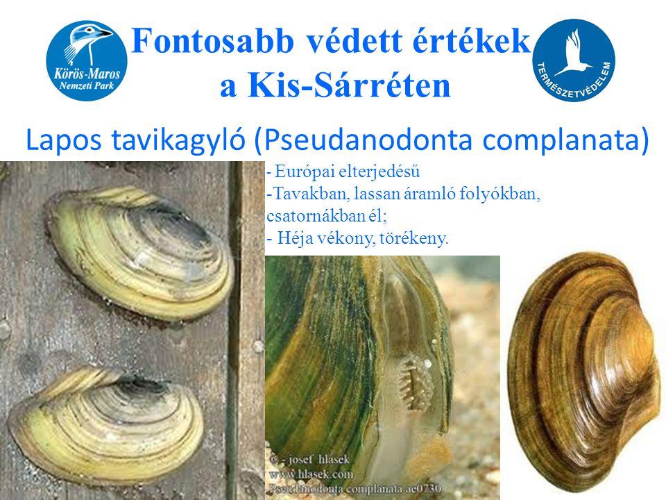 Fontosabb védett értékek a Kis-Sárréten Lapos tavikagyló (Pseudanodonta complanata) - Európai elterjedésű -Tavakban, lassan áramló folyókban, csatorná
