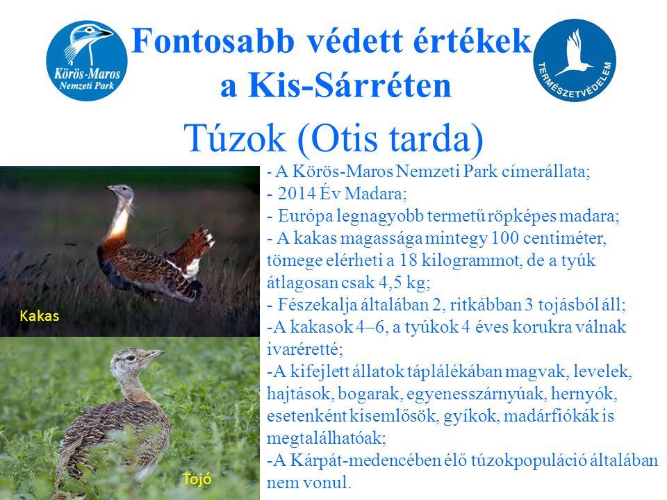 Túzok (Otis tarda) Fontosabb védett értékek a Kis-Sárréten Kakas Tojó - A Körös-Maros Nemzeti Park címerállata; - 2014 Év Madara; - Európa legnagyobb
