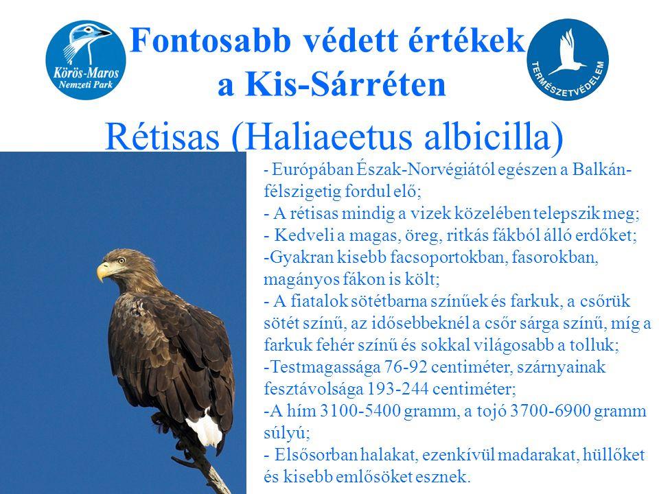 Fontosabb védett értékek a Kis-Sárréten Rétisas (Haliaeetus albicilla) - Európában Észak-Norvégiától egészen a Balkán- félszigetig fordul elő; - A rét