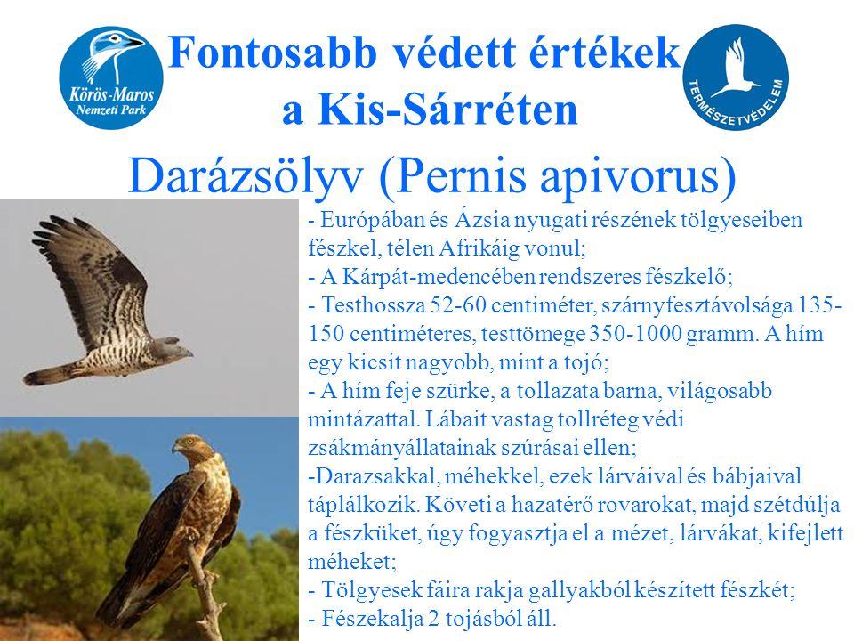Fontosabb védett értékek a Kis-Sárréten Darázsölyv (Pernis apivorus) - Európában és Ázsia nyugati részének tölgyeseiben fészkel, télen Afrikáig vonul;