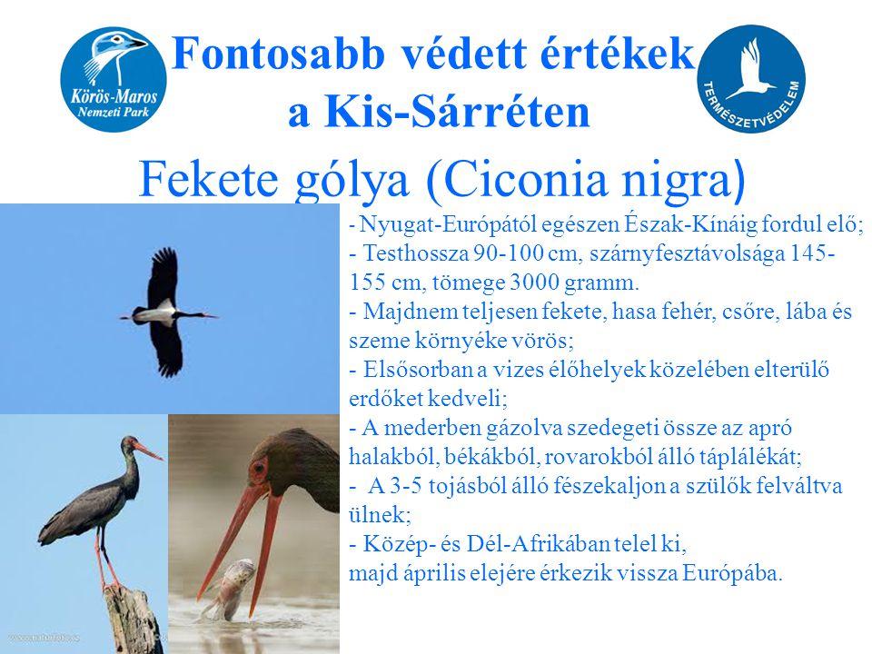 Fontosabb védett értékek a Kis-Sárréten Fekete gólya (Ciconia nigra ) - Nyugat-Európától egészen Észak-Kínáig fordul elő; - Testhossza 90-100 cm, szár