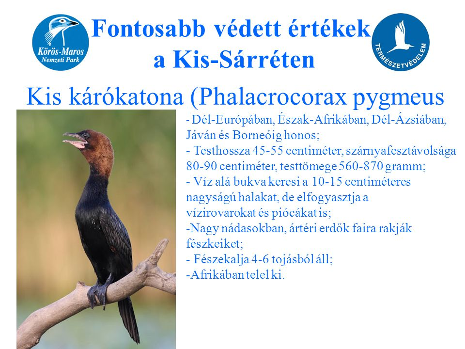 Fontosabb védett értékek a Kis-Sárréten Kis kárókatona (Phalacrocorax pygmeus - Dél-Európában, Észak-Afrikában, Dél-Ázsiában, Jáván és Borneóig honos;
