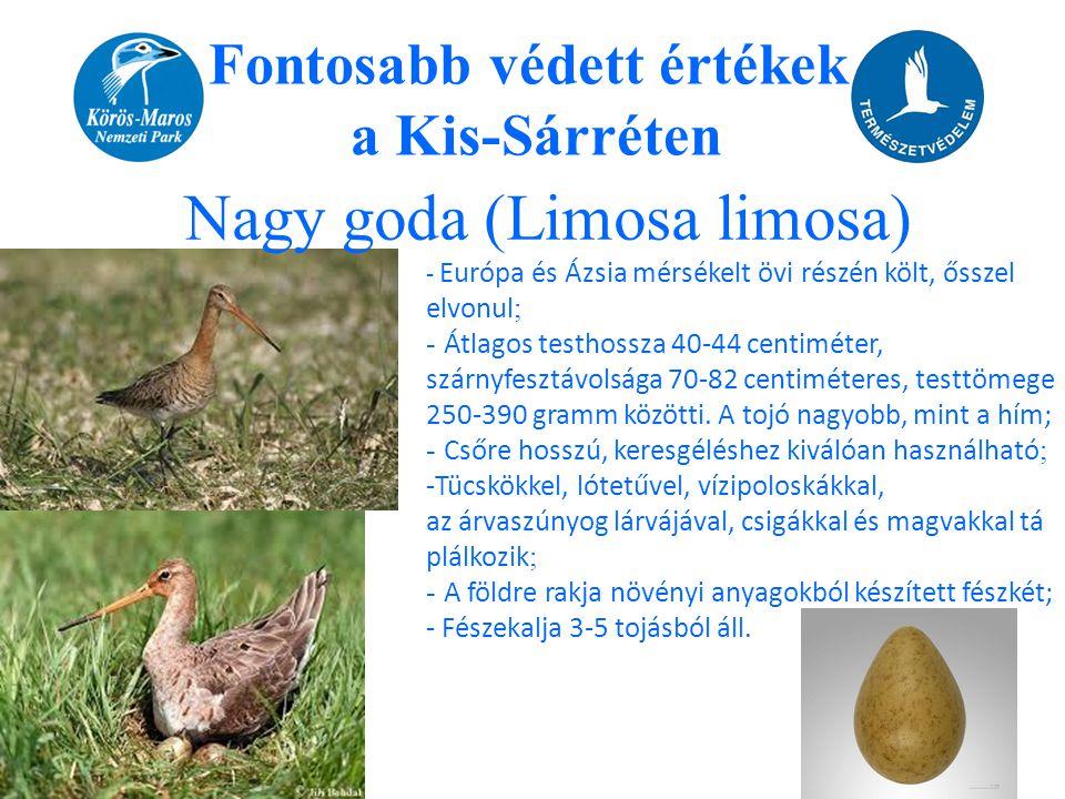 Fontosabb védett értékek a Kis-Sárréten Nagy goda (Limosa limosa) - Európa és Ázsia mérsékelt övi részén költ, ősszel elvonul ; - Átlagos testhossza 4