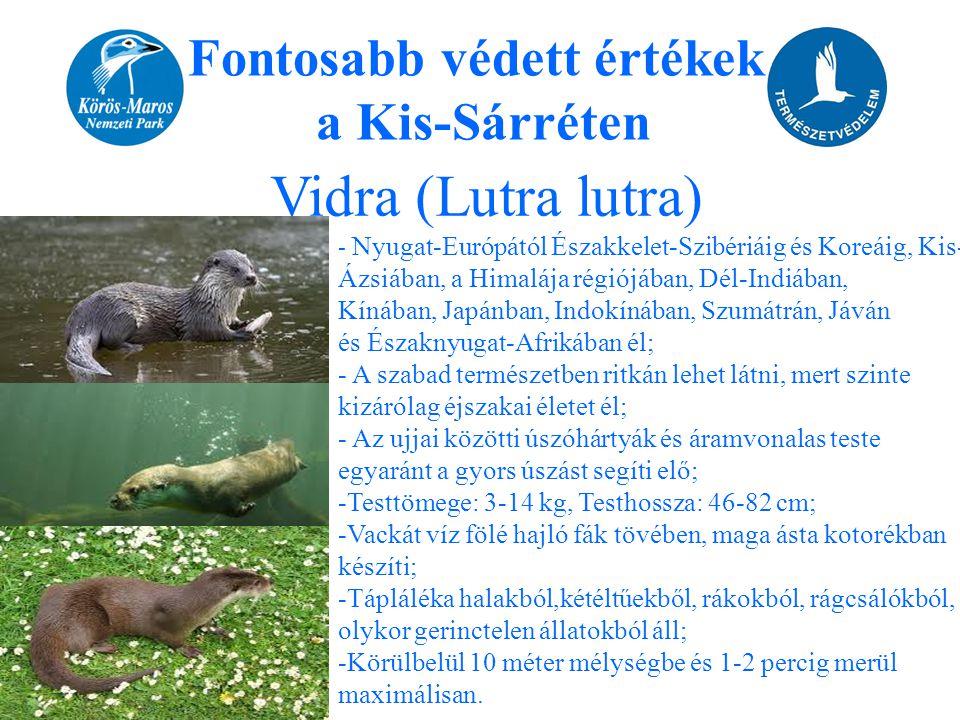 Fontosabb védett értékek a Kis-Sárréten Vidra (Lutra lutra) - Nyugat-Európától Északkelet-Szibériáig és Koreáig, Kis- Ázsiában, a Himalája régiójában,