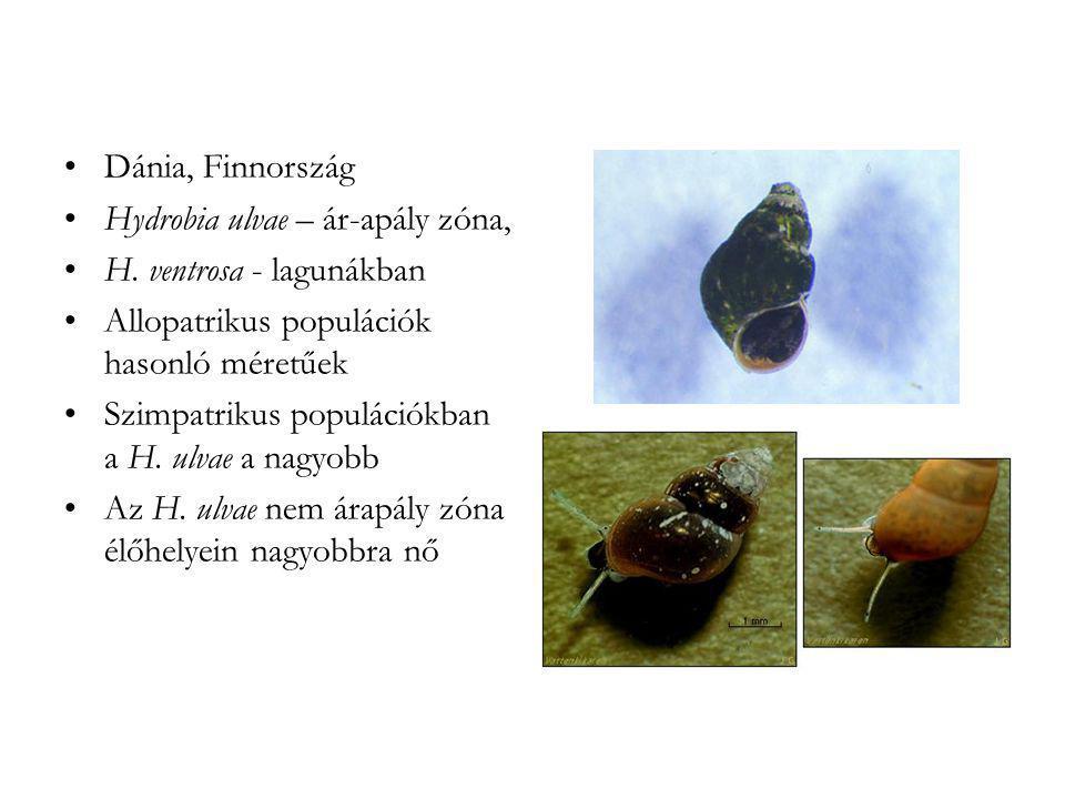 •Dánia, Finnország •Hydrobia ulvae – ár-apály zóna, •H. ventrosa - lagunákban •Allopatrikus populációk hasonló méretűek •Szimpatrikus populációkban a