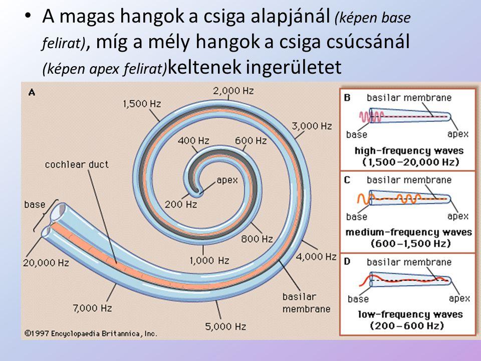 • A magas hangok a csiga alapjánál (képen base felirat), míg a mély hangok a csiga csúcsánál (képen apex felirat) keltenek ingerületet
