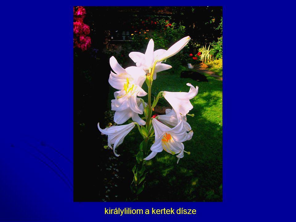 királyliliom a kertek dísze