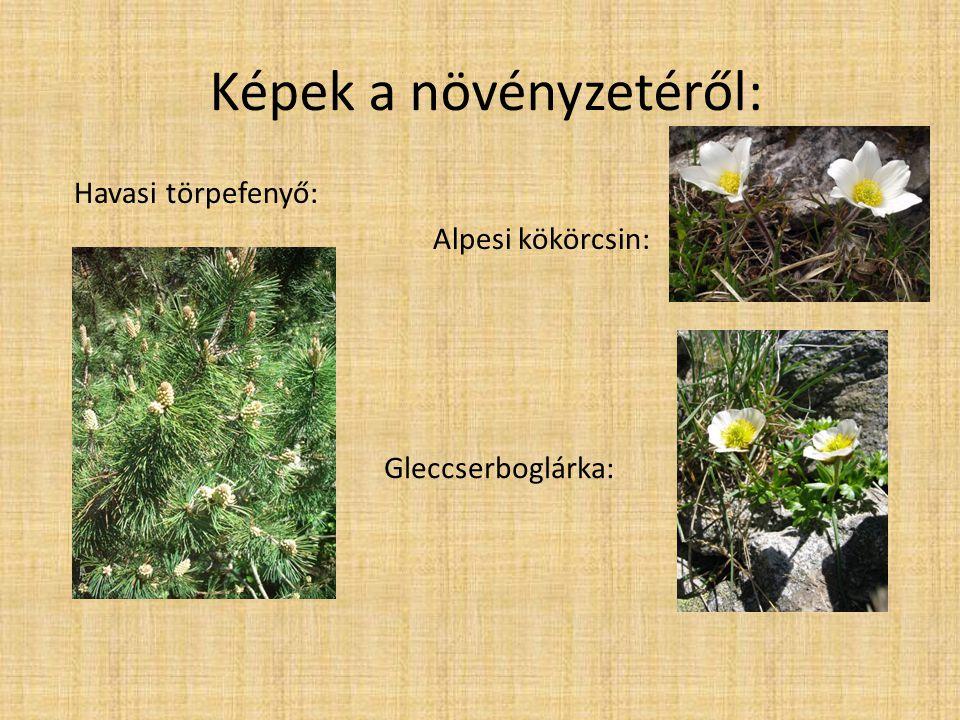 Képek a növényzetéről: Havasi törpefenyő: Alpesi kökörcsin: Gleccserboglárka: