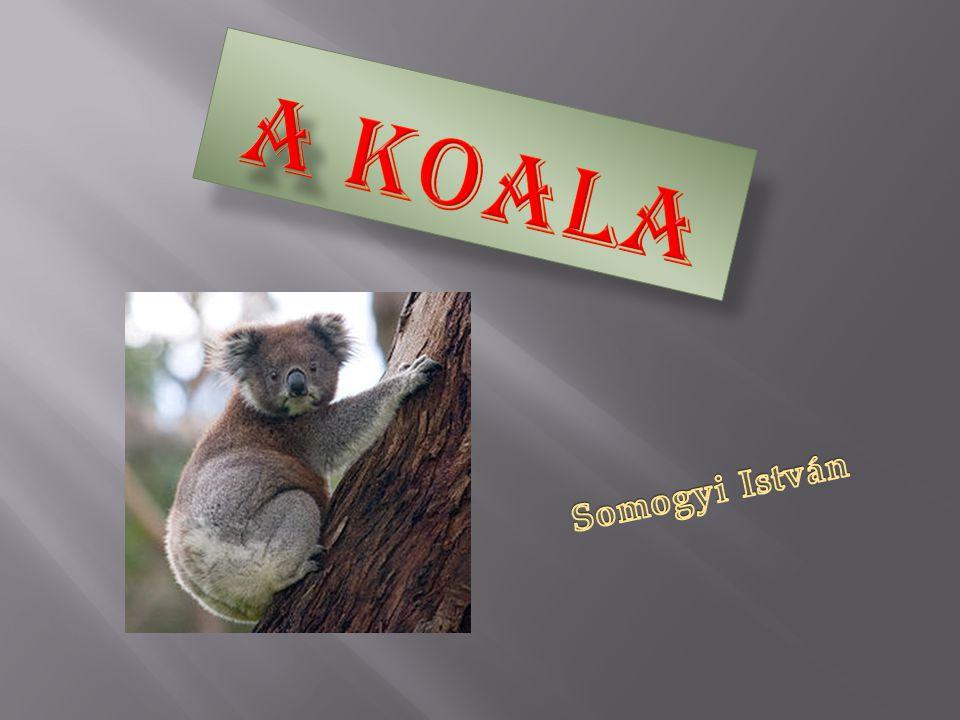 o A koala A koala (Phascolarctos cinereus) Ausztráliában honos erszényes, növényevő állat, a koalafélék (Phascolarctidae) családjának egyedüli élő képviselője.