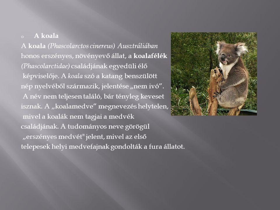 o A koala A koala (Phascolarctos cinereus) Ausztráliában honos erszényes, növényevő állat, a koalafélék (Phascolarctidae) családjának egyedüli élő kép