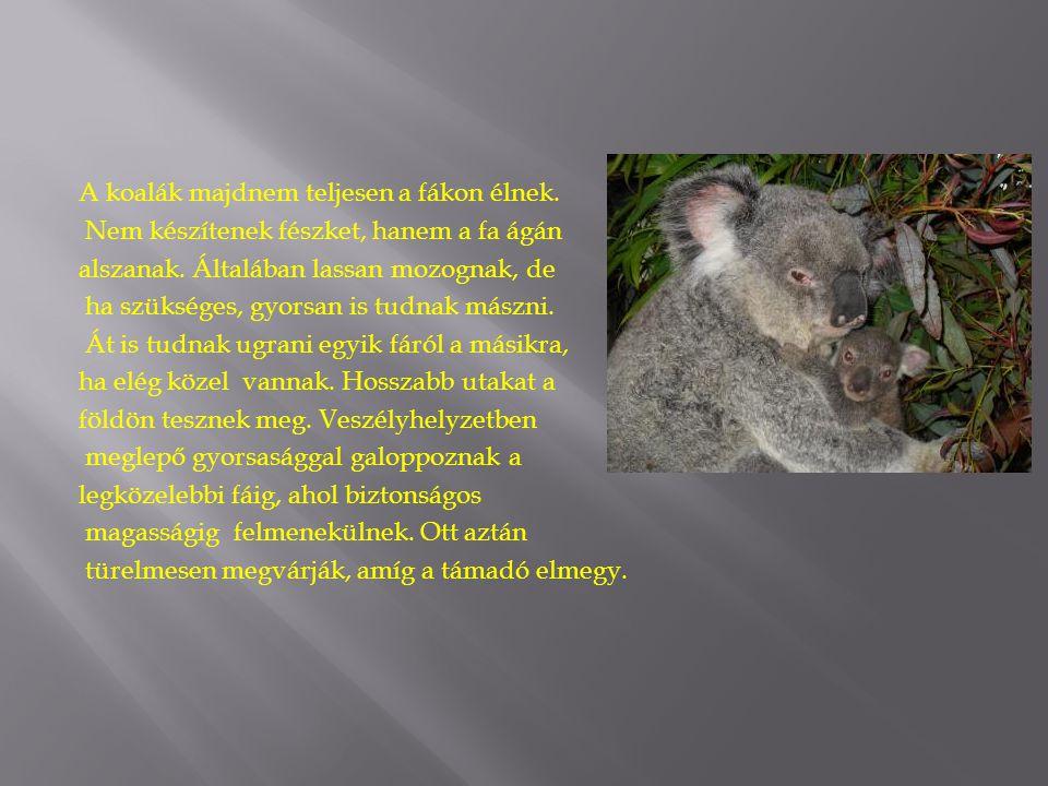 A koalák majdnem teljesen a fákon élnek. Nem készítenek fészket, hanem a fa ágán alszanak. Általában lassan mozognak, de ha szükséges, gyorsan is tudn