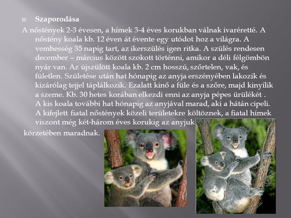  Szaporodása A nőstények 2-3 évesen, a hímek 3-4 éves korukban válnak ivaréretté. A nőstény koala kb. 12 éven át évente egy utódot hoz a világra. A v