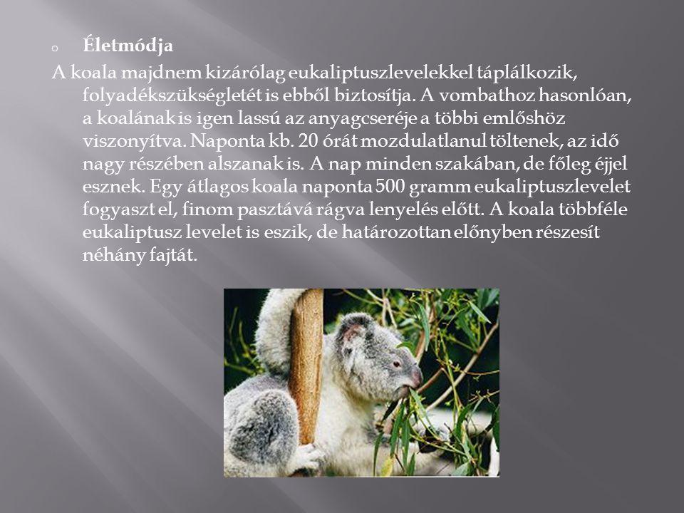 o Életmódja A koala majdnem kizárólag eukaliptuszlevelekkel táplálkozik, folyadékszükségletét is ebből biztosítja. A vombathoz hasonlóan, a koalának i