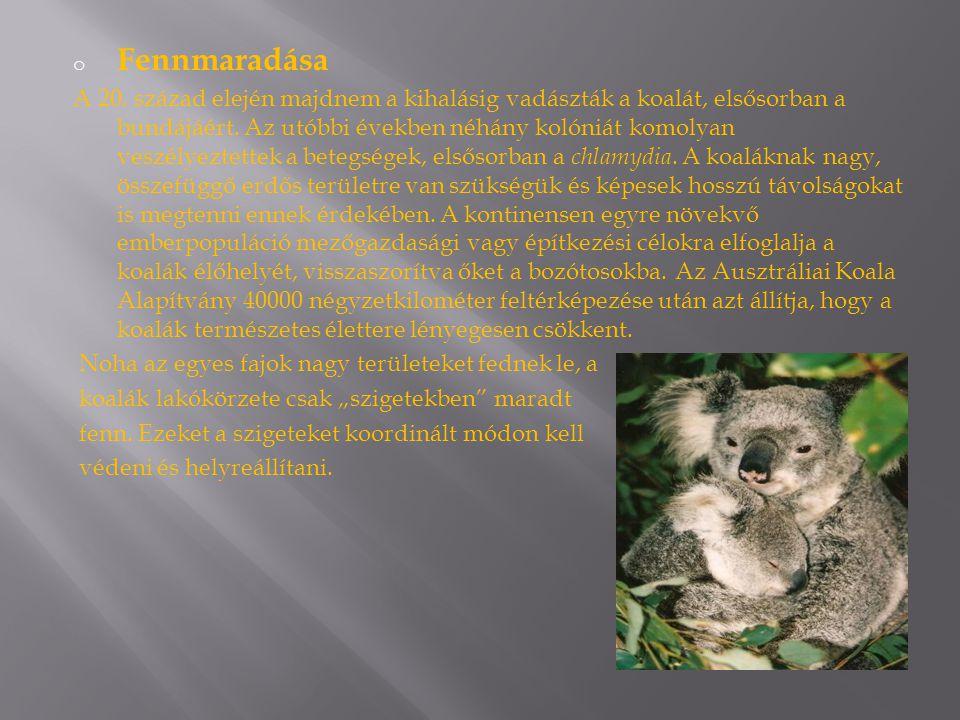 o Fennmaradása A 20. század elején majdnem a kihalásig vadászták a koalát, elsősorban a bundájáért. Az utóbbi években néhány kolóniát komolyan veszély