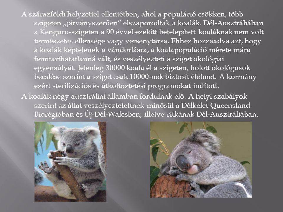 """A szárazföldi helyzettel ellentétben, ahol a populáció csökken, több szigeten """"járványszerűen elszaporodtak a koalák."""