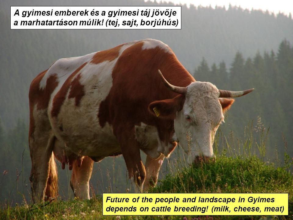 A gyimesi emberek és a gyimesi táj jövője a marhatartáson múlik! (tej, sajt, borjúhús) Future of the people and landscape in Gyimes depends on cattle