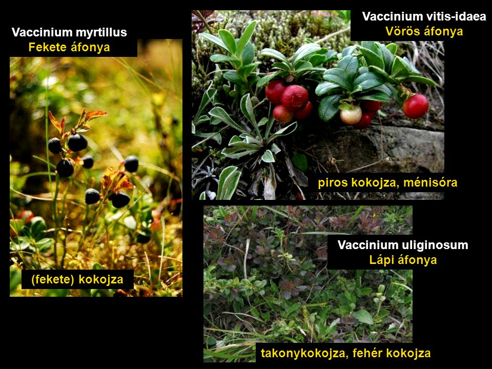 (fekete) kokojza Vaccinium myrtillus Fekete áfonya piros kokojza, ménisóra Vaccinium vitis-idaea Vörös áfonya takonykokojza, fehér kokojza Vaccinium uliginosum Lápi áfonya