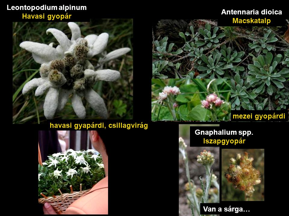havasi gyapárdi, csillagvirág Leontopodium alpinum Havasi gyopár mezei gyopárdi Antennaria dioica Macskatalp Van a sárga… Gnaphalium spp. Iszapgyopár