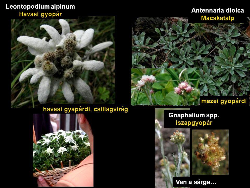havasi gyapárdi, csillagvirág Leontopodium alpinum Havasi gyopár mezei gyopárdi Antennaria dioica Macskatalp Van a sárga… Gnaphalium spp.