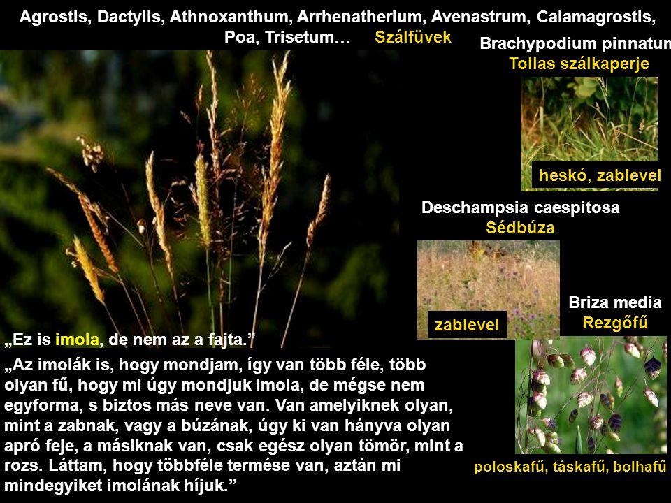 sáté Carex spp.