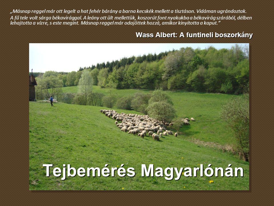 """Tejbemérés Magyarlónán """" """"Másnap reggel már ott legelt a hat fehér bárány a barna kecskék mellett a tisztáson. Vidáman ugrándoztak. A fű tele volt sár"""