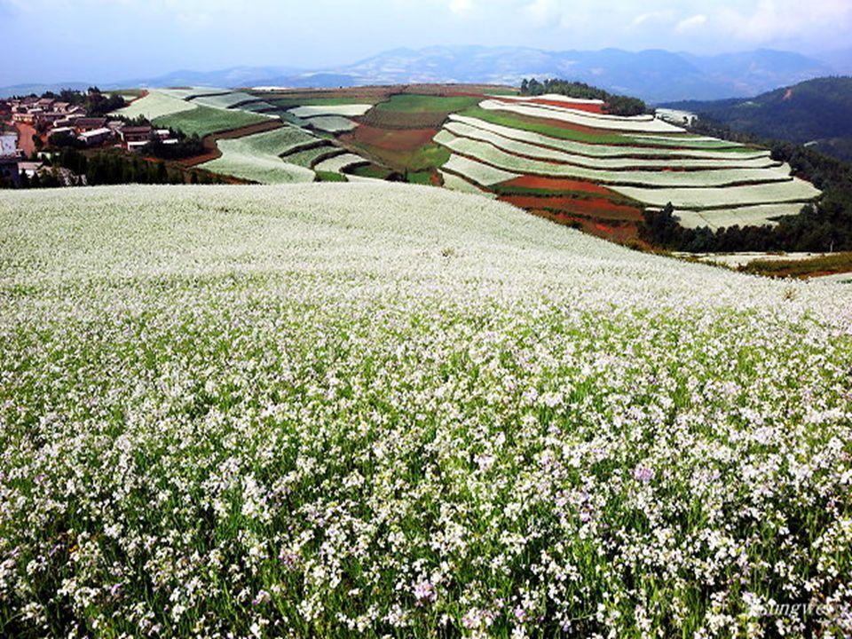 Szeptemberben az olajos növények fehér színe uralkodik. Korán reggel szamár vontatta szekereken viszik a betakarított termést a városba, míg néhány gy