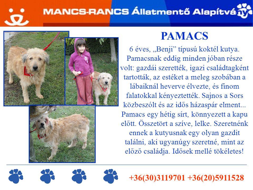 """PAMACS 6 éves, """"Benji típusú koktél kutya."""