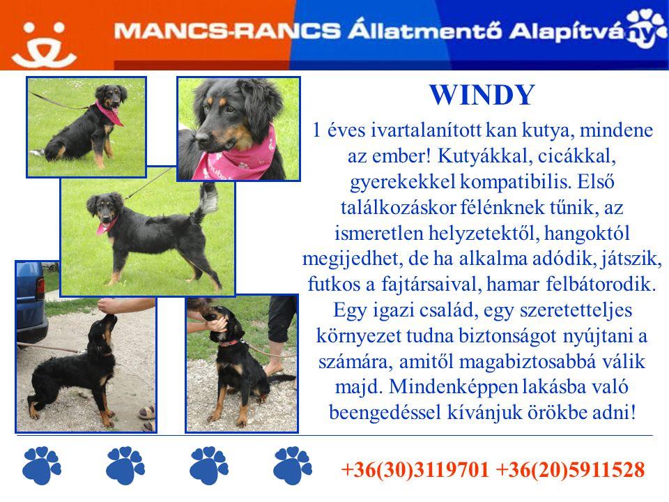 WINDY 1 éves ivartalanított kan kutya, mindene az ember.