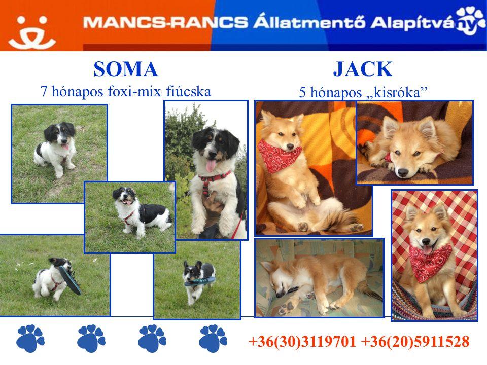 """JACK 5 hónapos """"kisróka +36(30)3119701 +36(20)5911528 SOMA 7 hónapos foxi-mix fiúcska"""
